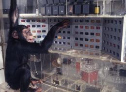 """Die Schimpansin Lana vom Yerkes Primatenforschungszentrum in Atlanta (USA) kommunizierte um 1974 mit graphischen Symbolen in der Kunstsprache """"Yerkish"""".   Bild: Ernst von Glasersfeld Archiv / Forschungsinstitut Brenner-Archiv, Nachlass Ernst von Glasersfeld"""