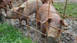 31772-31772durocschweine.jpg