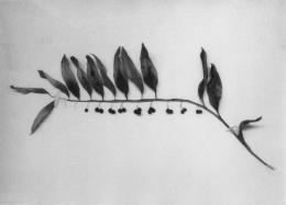 """Jochen Lempert, Salomonsiegel, Detail aus """"Botanical Box"""", 2009–2019, courtesy BQ, Berlin and ProjecteSD, Barcelona © Jochen Lempert / 2020, ProLitteris, Zürich"""