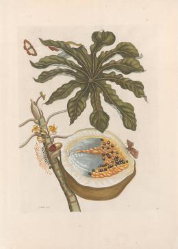 Maria Sibylla Merian (1647-1717) Handkolorierter Kupferstich aus: Veranderingen der Surinaamsche Insecten / De Europische Insecten, Amsterdam, 1730 51,5 x 37,1 cm Graphische Sammlung ETH Zürich