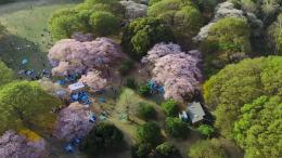 Tokios Kirschbäume aus der Vogelperspektive (Bild: Screenshot)